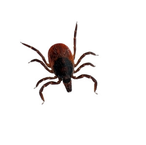 black legged tick protection Central Mass
