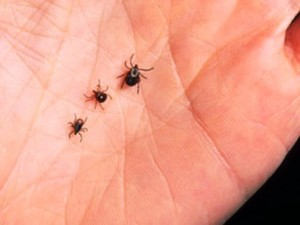 Stages of ticks