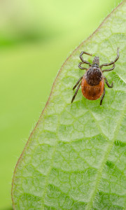 Deer tick in Central Massachusetts