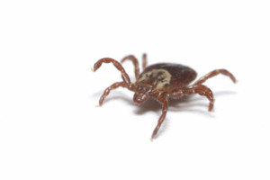 massachusetts tick