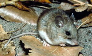 White footed mouse courtesy of CDC.gov