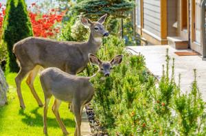 increase_in_deer_increase_in_Lyme_disease_Harvard_MA